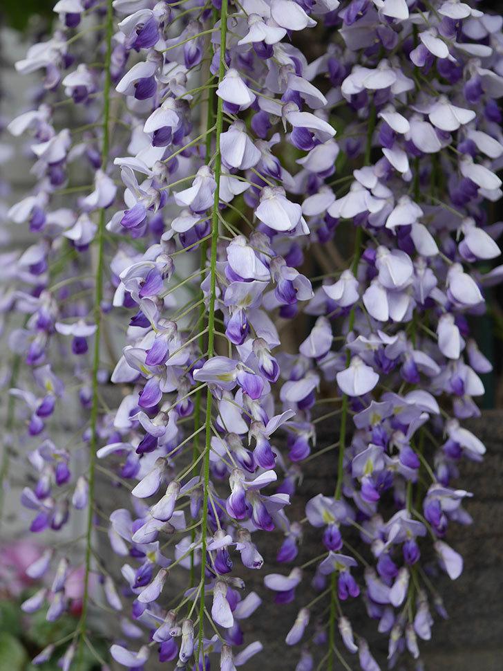 フジ(藤)の花が満開になった。2021年-022.jpg