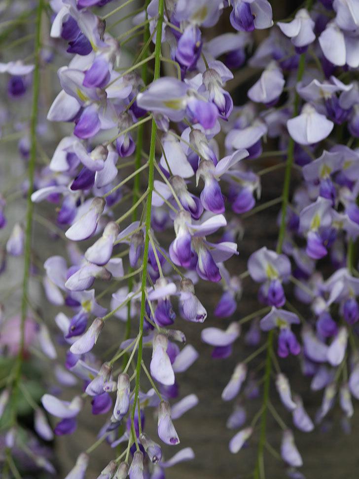 フジ(藤)の花が満開になった。2021年-025.jpg