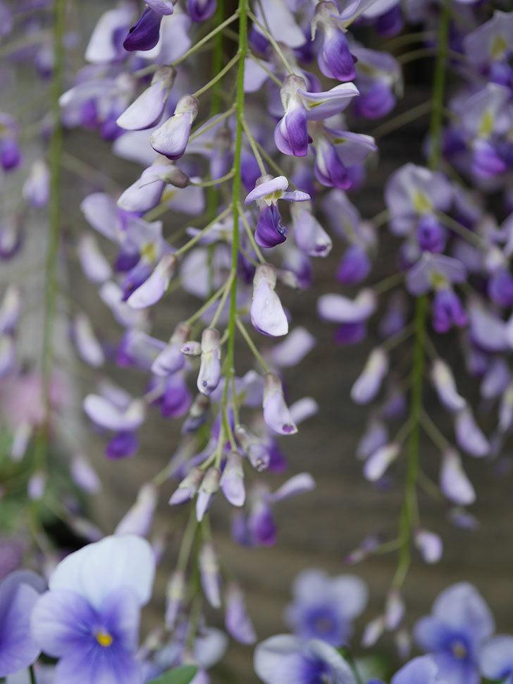 フジ(藤)の花が満開になった。2021年-026.jpg