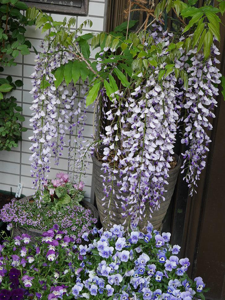 フジ(藤)の花が満開になった。2021年-027.jpg