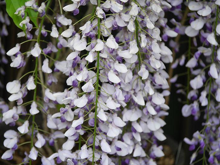 フジ(藤)の花が満開になった。2021年-028.jpg
