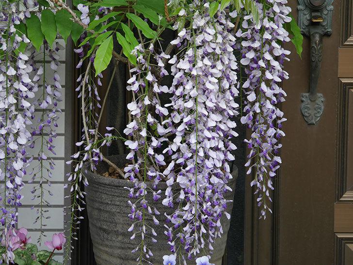 フジ(藤)の花が満開になった。2021年-029.jpg
