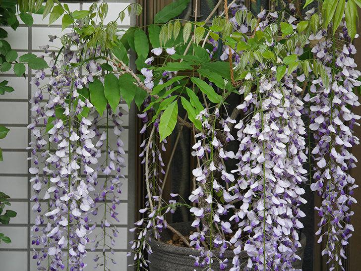 フジ(藤)の花が満開になった。2021年-030.jpg