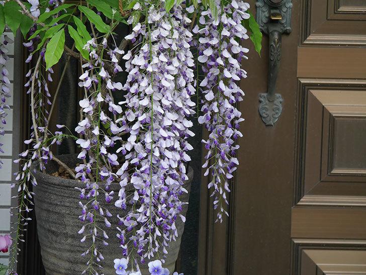 フジ(藤)の花が満開になった。2021年-031.jpg