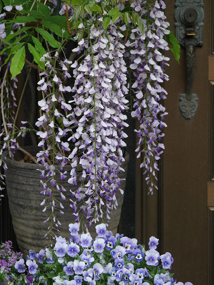 フジ(藤)の花が満開になった。2021年-033.jpg