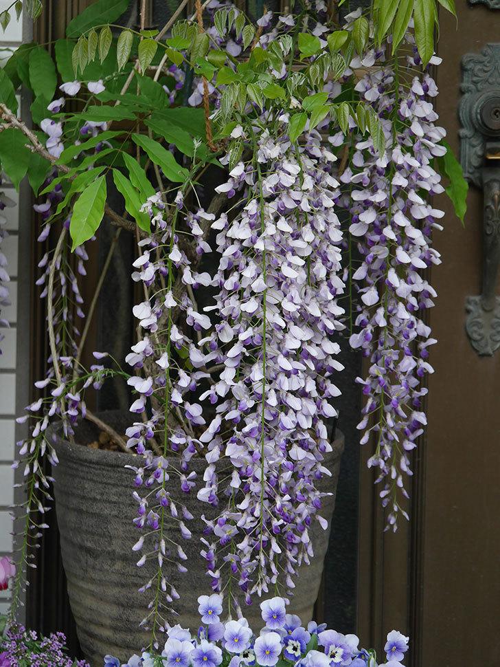 フジ(藤)の花が満開になった。2021年-034.jpg