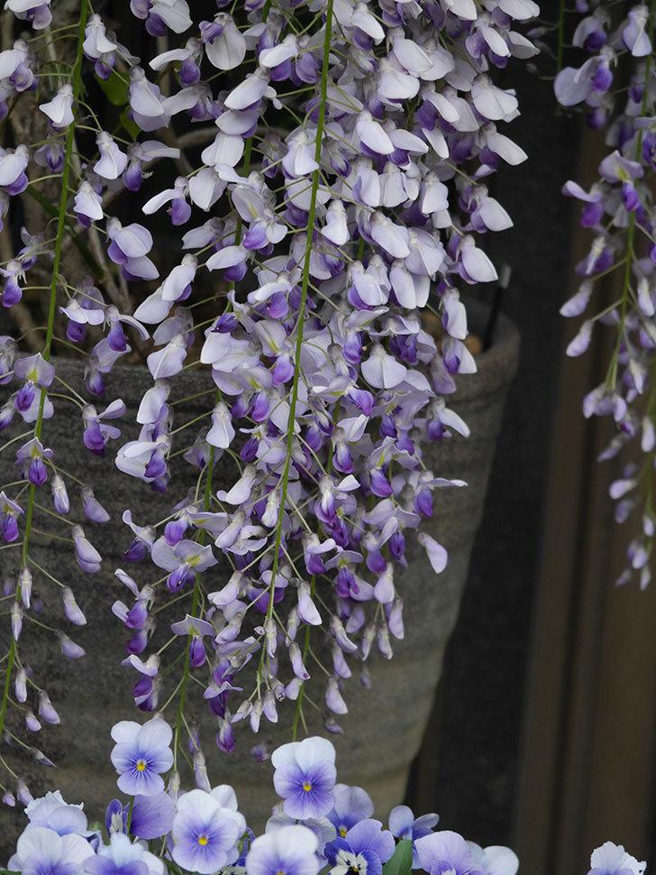 フジ(藤)の花が満開になった。2021年-035.jpg