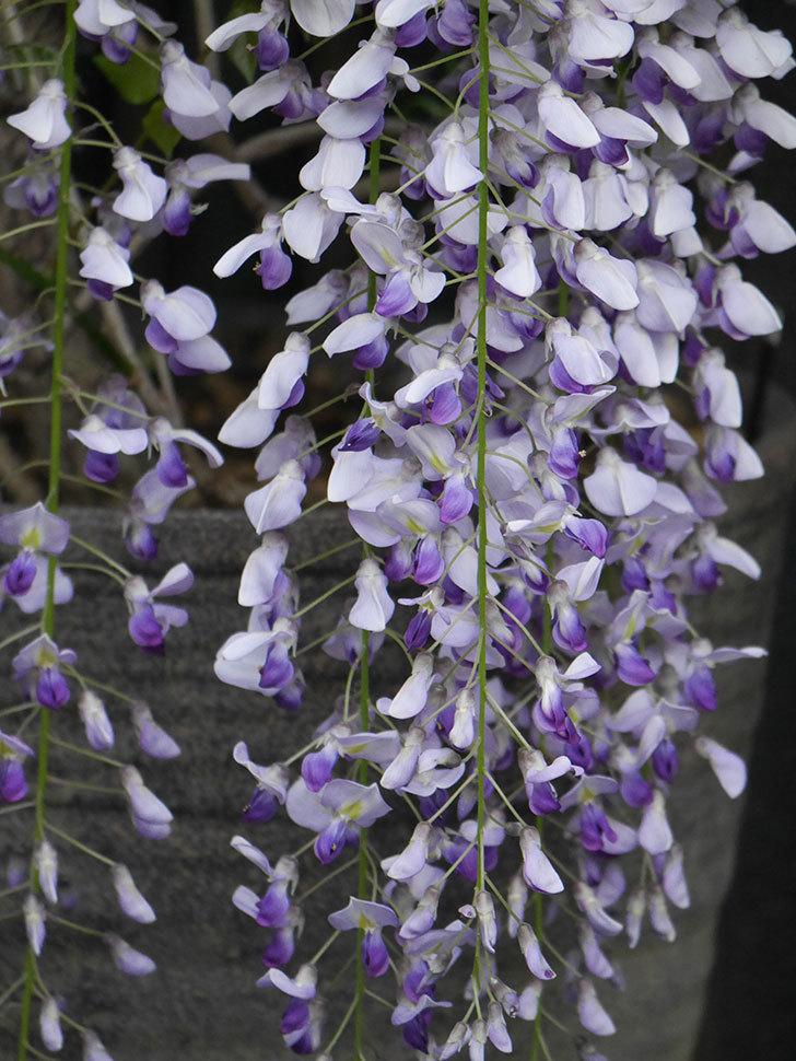 フジ(藤)の花が満開になった。2021年-037.jpg