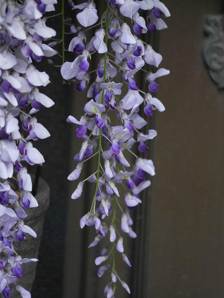 フジ(藤)の花が満開になった。2021年-038.jpg