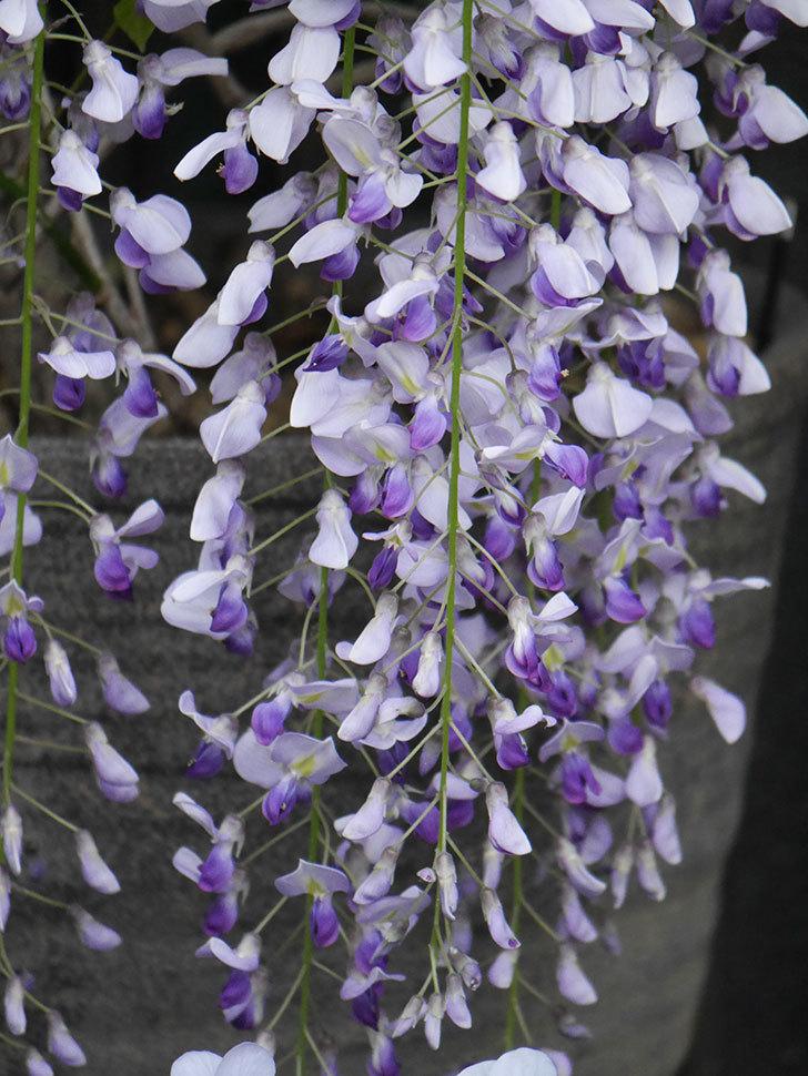 フジ(藤)の花が満開になった。2021年-039.jpg