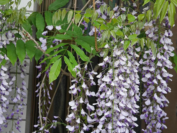 フジ(藤)の花が満開になった。2021年-040.jpg