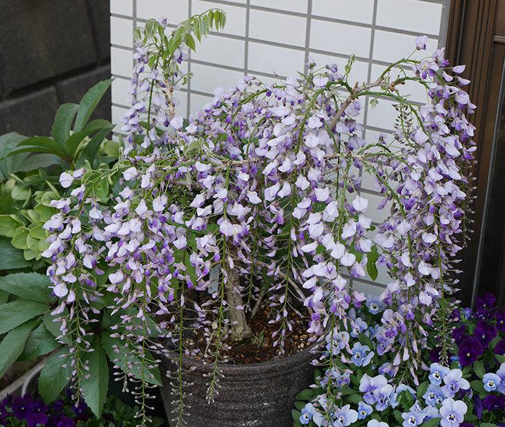 フジ(藤)の花が綺麗に咲いた。2019年-1.jpg