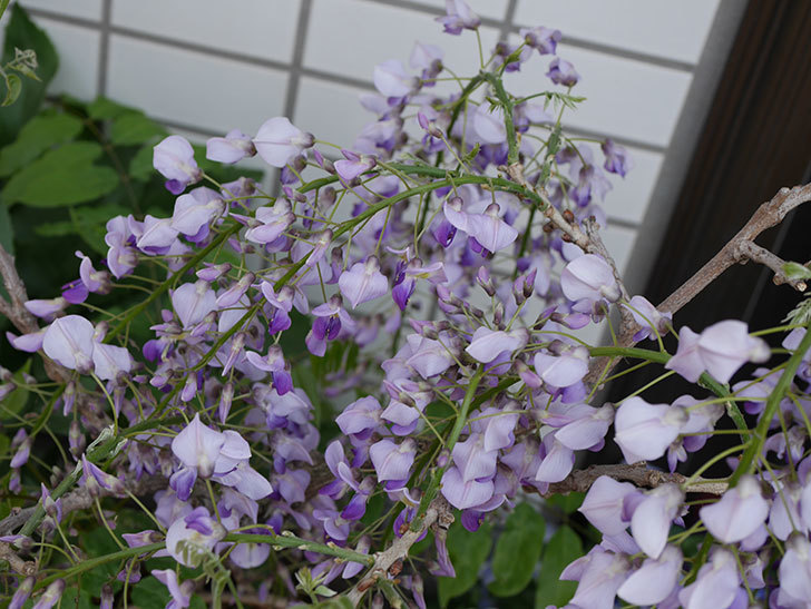 フジ(藤)の花が綺麗に咲いた。2019年-4.jpg