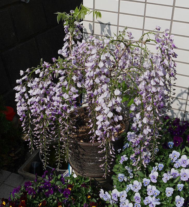 フジ(藤)の花が綺麗に咲いた。2019年-6.jpg
