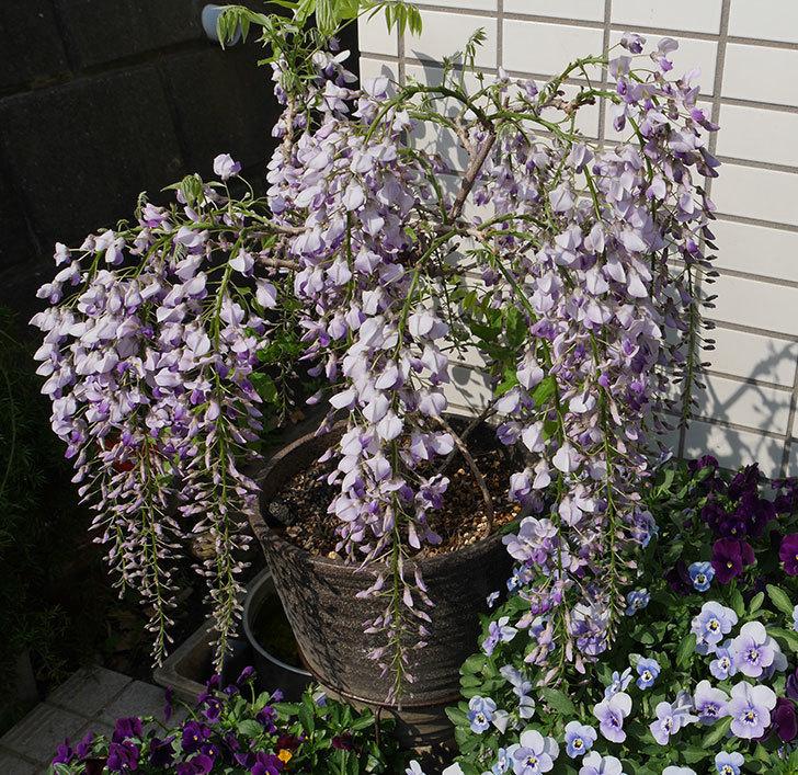 フジ(藤)の花が綺麗に咲いた。2019年-7.jpg