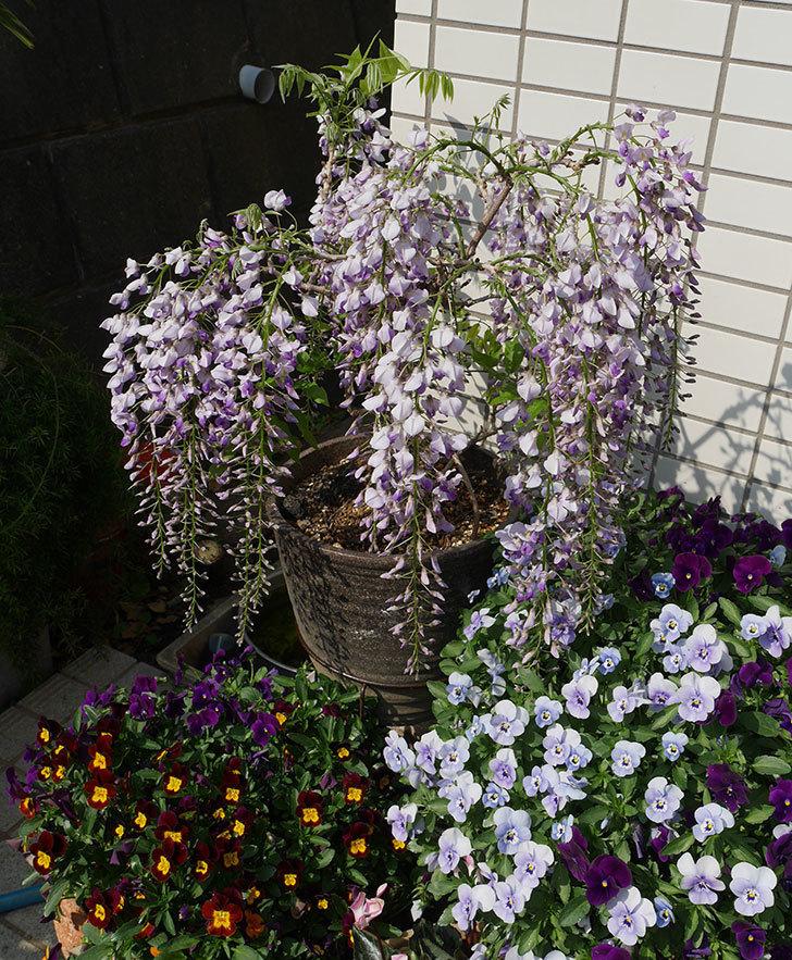 フジ(藤)の花が綺麗に咲いた。2019年-8.jpg
