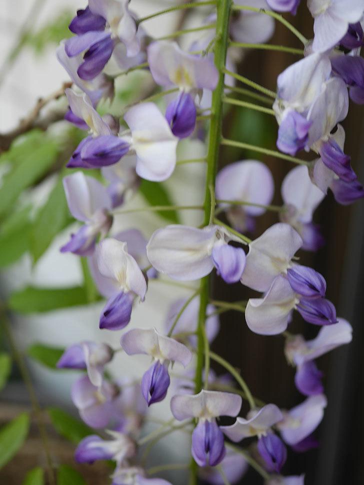 フジ(藤)の花が綺麗に咲いた。2020年-1.jpg