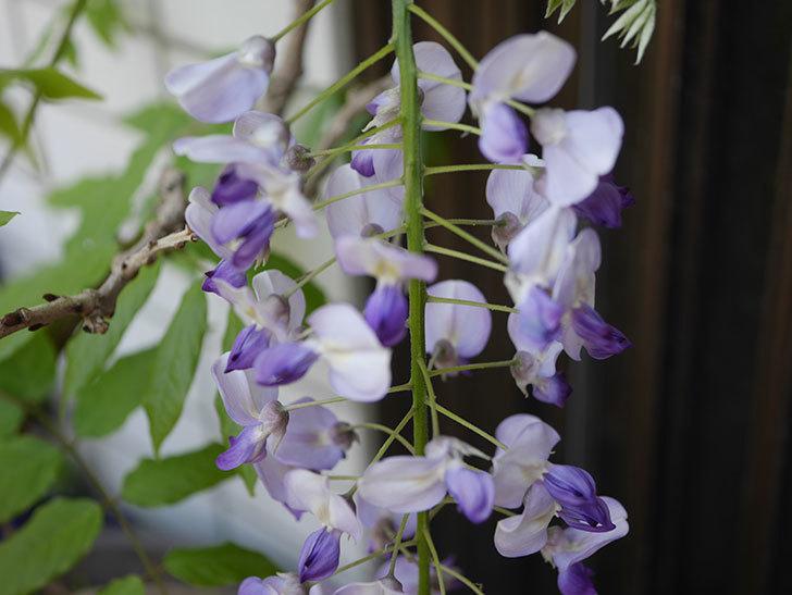 フジ(藤)の花が綺麗に咲いた。2020年-2.jpg