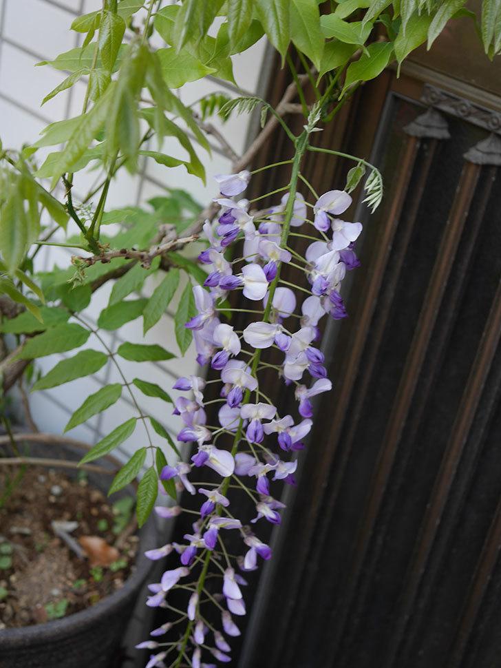 フジ(藤)の花が綺麗に咲いた。2020年-3.jpg