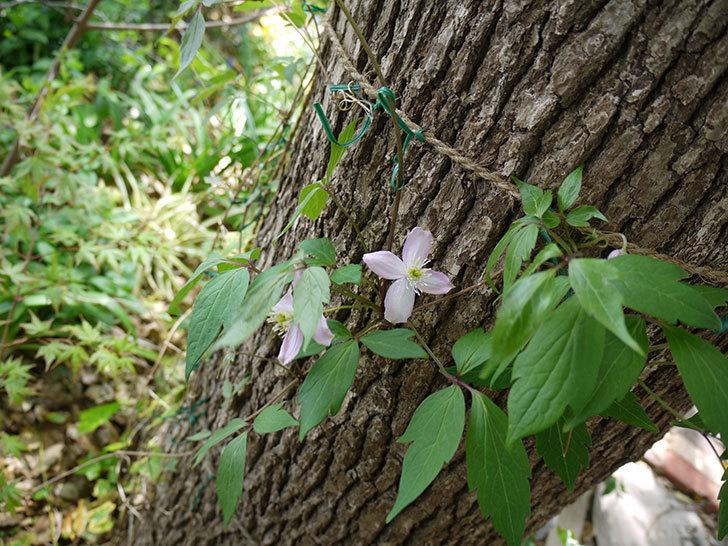 フラグラント・スプリング(モンタナ系 旧枝咲き)の花が咲きだした。2017年-2.jpg