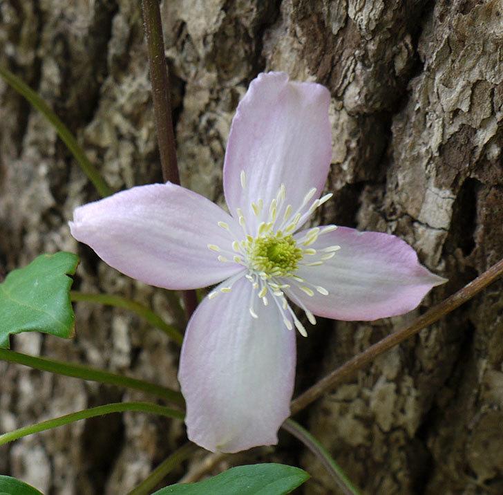 フラグラント・スプリング(モンタナ系 旧枝咲き)の花が咲きだした。2017年-3.jpg