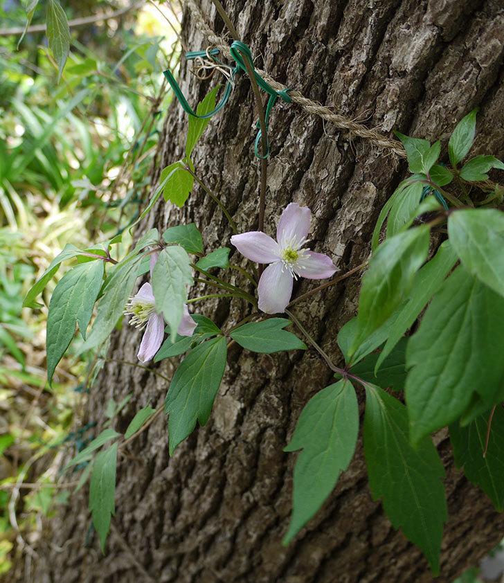 フラグラント・スプリング(モンタナ系 旧枝咲き)の花が咲きだした。2017年-6.jpg