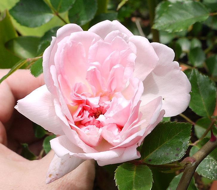 フランソワ・ジュランヴィル(ツルバラ)の開花株の花が咲いた。2016年-2.jpg