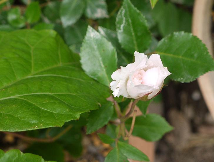 フランソワ・ジュランヴィル(ツルバラ)の開花株の花が咲いた。2016年-4.jpg