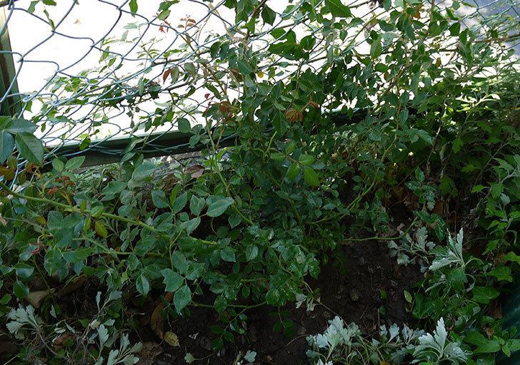 フランソワ・ジュランヴィル(ツルバラ)の開花株を地植えした。2016年-1.jpg