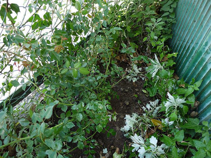 フランソワ・ジュランヴィル(ツルバラ)の開花株を地植えした。2016年-11.jpg