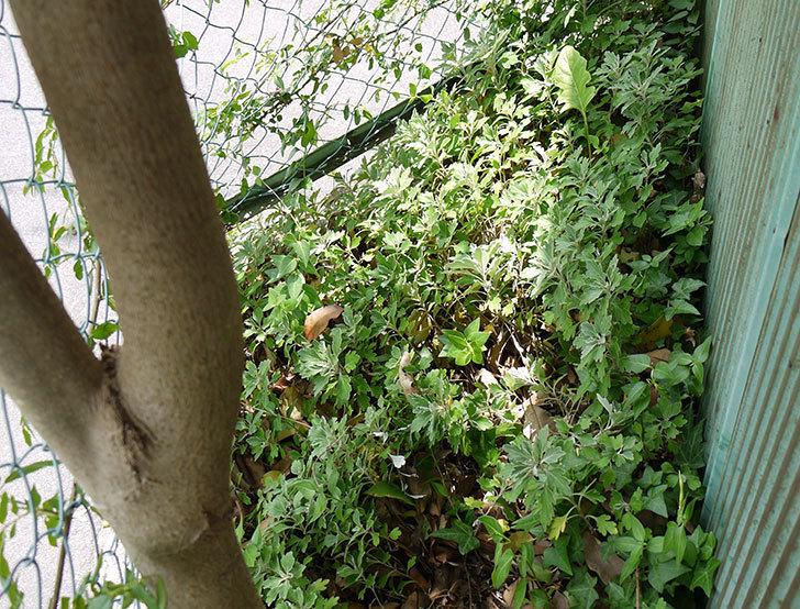フランソワ・ジュランヴィル(ツルバラ)の開花株を地植えした。2016年-2.jpg