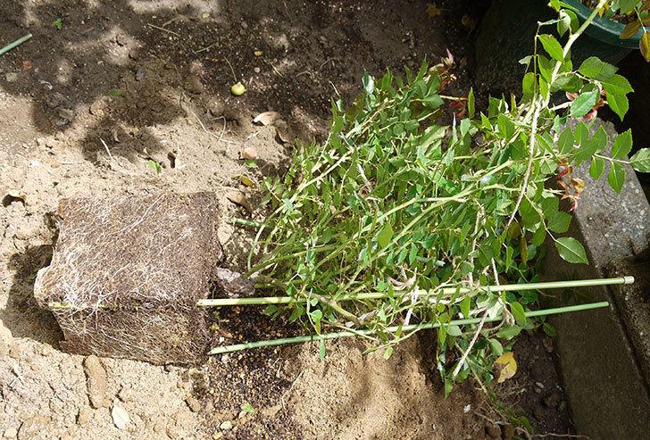 フランソワ・ジュランヴィル(ツルバラ)の開花株を地植えした。2016年-7.jpg