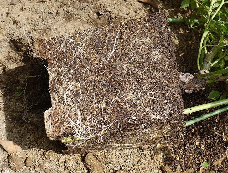 フランソワ・ジュランヴィル(ツルバラ)の開花株を地植えした。2016年-8.jpg