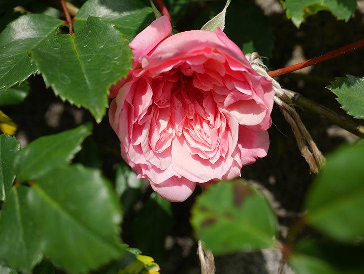 フランソワ・ジュランヴィル(Francois Juranville)の花が咲いた。ツルバラ。2021年-002.jpg