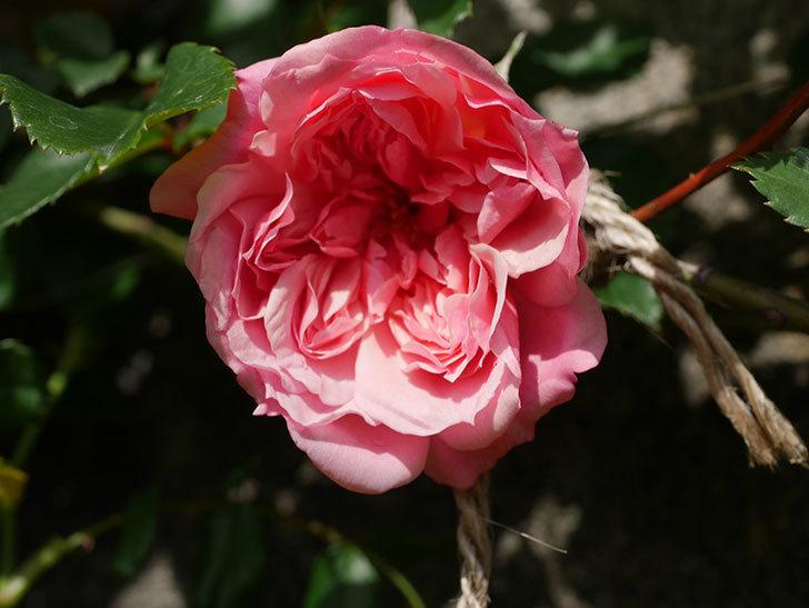 フランソワ・ジュランヴィル(Francois Juranville)の花が咲いた。ツルバラ。2021年-003.jpg