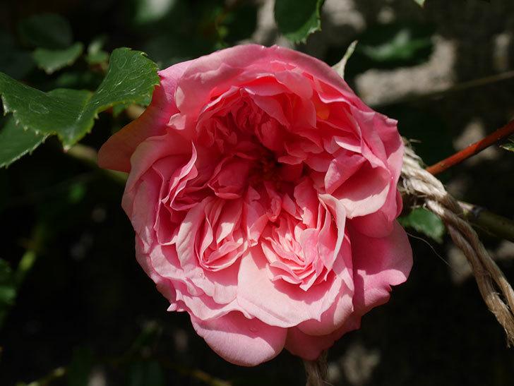 フランソワ・ジュランヴィル(Francois Juranville)の花が咲いた。ツルバラ。2021年-004.jpg