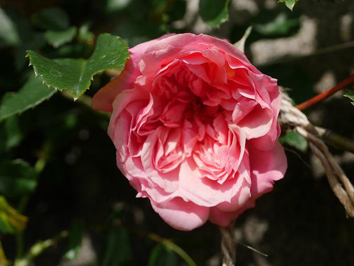 フランソワ・ジュランヴィル(Francois Juranville)の花が咲いた。ツルバラ。2021年-005.jpg