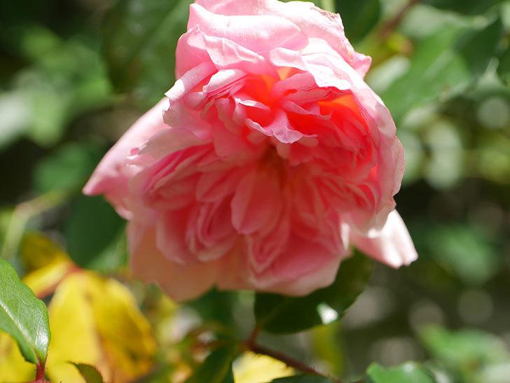 フランソワ・ジュランヴィル(Francois Juranville)の花が咲いた。ツルバラ。2021年-006.jpg