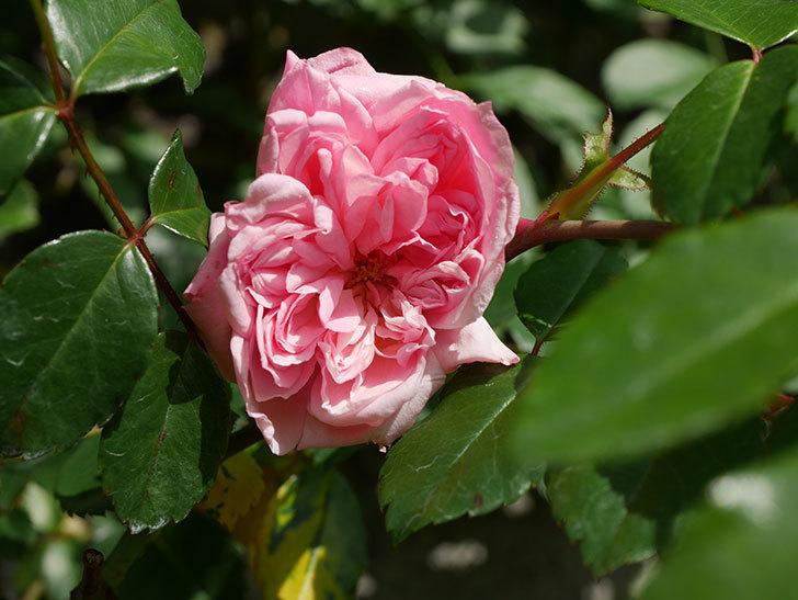 フランソワ・ジュランヴィル(Francois Juranville)の花が咲いた。ツルバラ。2021年-007.jpg