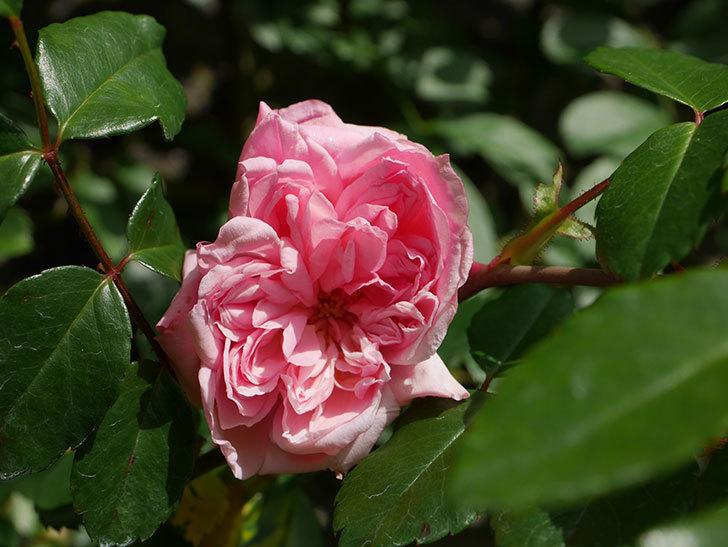 フランソワ・ジュランヴィル(Francois Juranville)の花が咲いた。ツルバラ。2021年-008.jpg