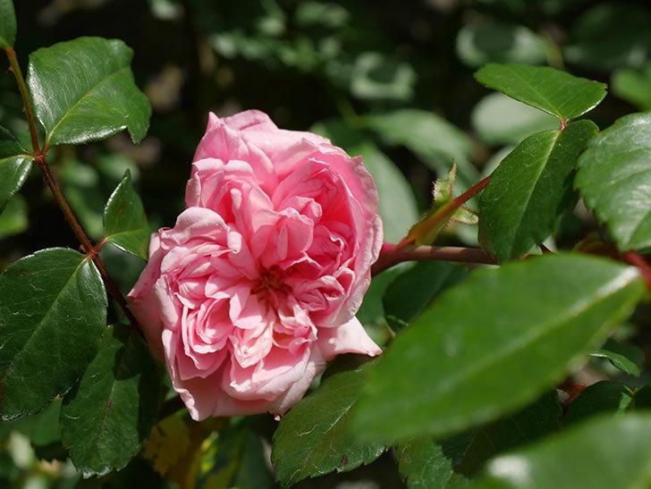フランソワ・ジュランヴィル(Francois Juranville)の花が咲いた。ツルバラ。2021年-009.jpg