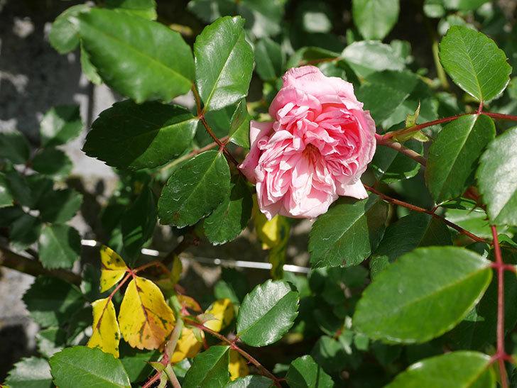 フランソワ・ジュランヴィル(Francois Juranville)の花が咲いた。ツルバラ。2021年-010.jpg