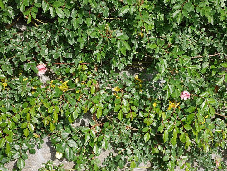 フランソワ・ジュランヴィル(Francois Juranville)の花が咲いた。ツルバラ。2021年-012.jpg