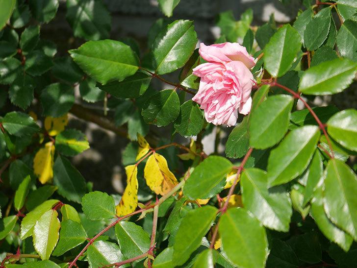 フランソワ・ジュランヴィル(Francois Juranville)の花が咲いた。ツルバラ。2021年-016.jpg