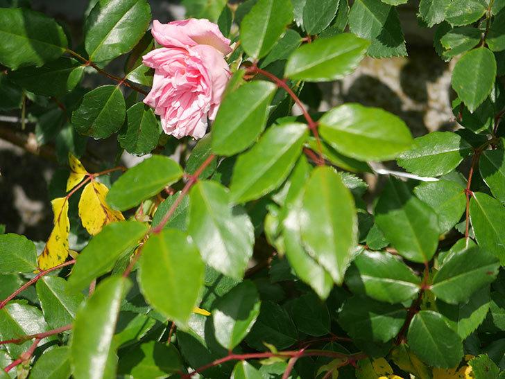 フランソワ・ジュランヴィル(Francois Juranville)の花が咲いた。ツルバラ。2021年-017.jpg