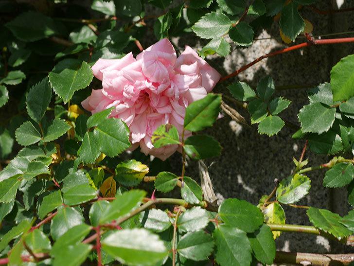 フランソワ・ジュランヴィル(Francois Juranville)の花が増えてきた。ツルバラ。2021年-001.jpg