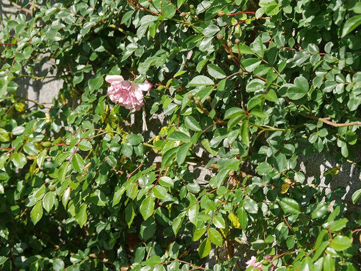 フランソワ・ジュランヴィル(Francois Juranville)の花が増えてきた。ツルバラ。2021年-002.jpg