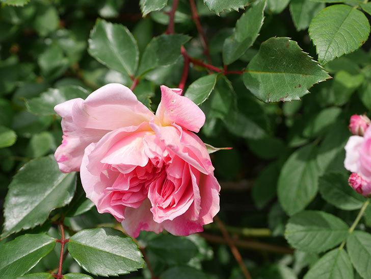 フランソワ・ジュランヴィル(Francois Juranville)の花が増えてきた。ツルバラ。2021年-004.jpg
