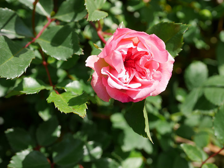 フランソワ・ジュランヴィル(Francois Juranville)の花が増えてきた。ツルバラ。2021年-005.jpg