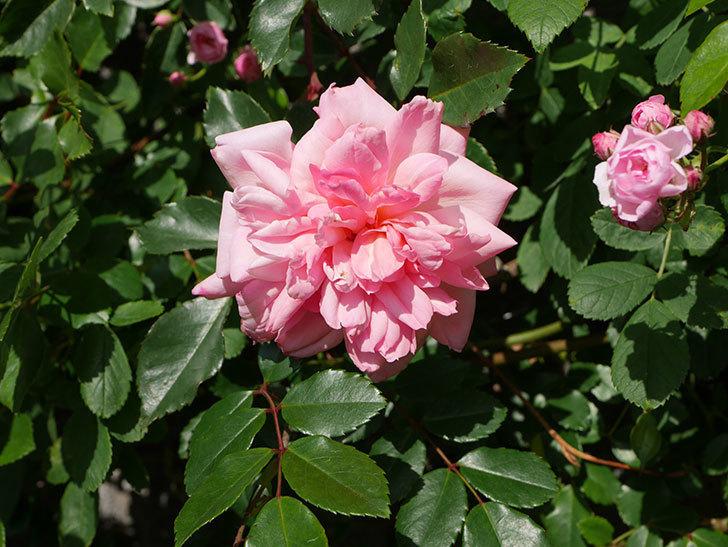 フランソワ・ジュランヴィル(Francois Juranville)の花が増えてきた。ツルバラ。2021年-008.jpg